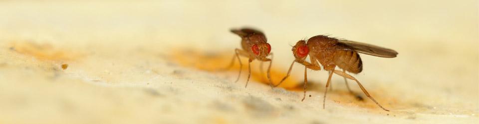mange små fluer i huset
